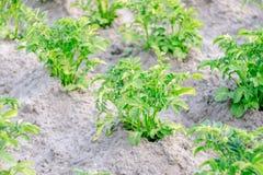 Struiken van groene aardappels Stock Foto