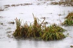 Struiken van riet op het meer, met ijs worden behandeld dat Stock Fotografie