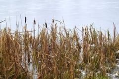 Struiken van riet op het meer, met ijs worden behandeld dat Stock Foto's