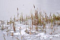 Struiken van riet op het meer, met ijs worden behandeld dat Stock Afbeelding