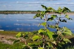 Struiken van rode aalbes op de achtergrond van de rivier stock fotografie