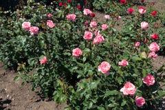 Struiken van roze rozen in bloei royalty-vrije stock foto