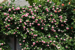 Struiken van roze rozen die huis verfraaien stock afbeeldingen