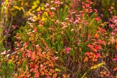 Struiken van wilde bosbessen in de herfstkleuren op het Schiereiland van Kamchatka, Rusland stock afbeeldingen