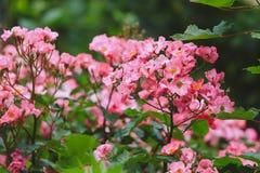 Struiken van wilde roze rozen - zachte gestemde nadruk - Stock Foto