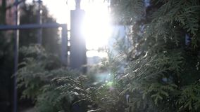 Struikenarborvitae stock video
