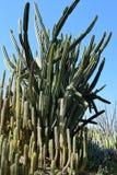 Struikgewas van cactus Royalty-vrije Stock Fotografie
