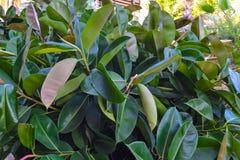 Struikgewas van ficus op de straat cyprus Natuurlijke achtergrond stock afbeelding