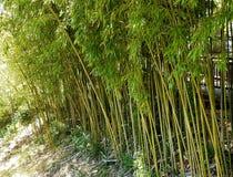 Struikgewas van jong groen bamboe Een subtropische installatie van het Aziatische gebied Vervaardiging van bouwmateriaal Natuurli stock foto
