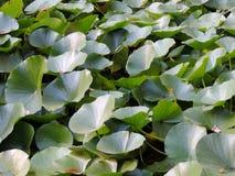 Struikgewas van lotusbloem (Nelumbo) Royalty-vrije Stock Afbeeldingen