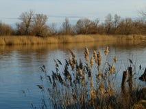 Struikgewas van riet op de rivier stock foto