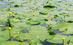 Struikgewas van waterlelies Stock Afbeeldingen