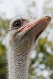 Struisvogel Royalty-vrije Stock Foto