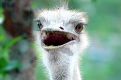 Struisvogel royalty-vrije stock foto's
