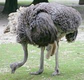 Struisvogel 2 royalty-vrije stock afbeeldingen