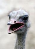 Struisvogel Royalty-vrije Stock Afbeeldingen