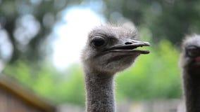 Struisvogel. stock footage