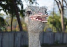 Struisvogel Royalty-vrije Stock Fotografie