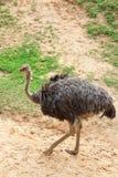 Struisvogel Stock Fotografie