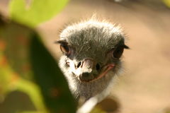 Struisvogel Stock Afbeeldingen