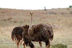 Struisvogel Stock Foto's