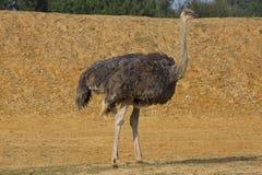 Struisvogel 2 stock fotografie