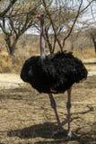 Struisvogel, abijatta-Shalla Nationaal Park, Ethiopië stock foto's