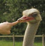 Struisvogel & Vinger royalty-vrije stock fotografie