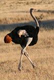 Struisvogel in beweging Royalty-vrije Stock Afbeeldingen