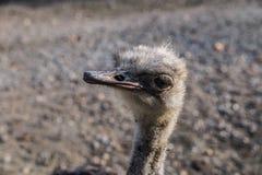 Struisvogel bij dierentuin in Belgrado stock afbeelding