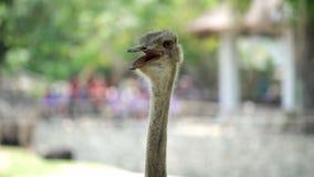 Struisvogel in de Dierentuin Concept dieren in de dierentuin stock videobeelden