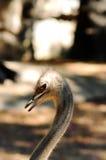 Struisvogel in de dierentuin, het noorden van Thailand Royalty-vrije Stock Afbeeldingen