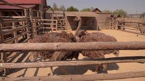 Struisvogel in de dierentuin, struisvogel Twee in het dierentuinvogelhuis stock videobeelden