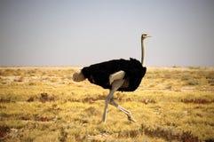 Struisvogel in de struik Royalty-vrije Stock Afbeelding
