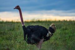 Struisvogel die in de wildernis wordt bevlekt royalty-vrije stock fotografie