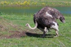 Struisvogel die op het gebied rondwandelen Royalty-vrije Stock Foto's