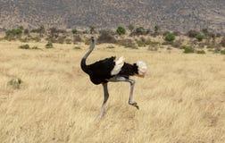 Struisvogel die over de weiden in Kenia, Afrika lopen royalty-vrije stock foto