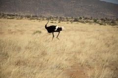 Struisvogel die over de weiden in Kenia, Afrika lopen royalty-vrije stock foto's