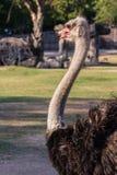 Struisvogel die vooruit Recht kijken Stock Afbeelding
