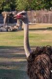 Struisvogel die vooruit Recht kijken Stock Foto