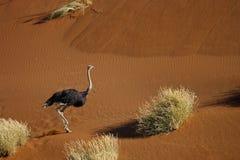 Struisvogel die in woestijnduinen loopt