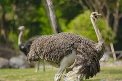 Struisvogel die zich met open mond in dierentuin of safari van Thailand bevindt Stock Fotografie