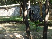 Struisvogel die zich in wildernis bewegen royalty-vrije stock afbeeldingen