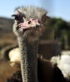 Struisvogel in een landbouwbedrijf Royalty-vrije Stock Afbeeldingen