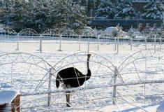 Struisvogel en sneeuw de wintermotieven Stock Afbeeldingen