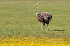 Struisvogel en wilde bloemen Royalty-vrije Stock Fotografie