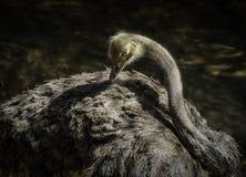 Struisvogel het Gladstrijken stock foto's