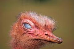 Struisvogel het knipperen royalty-vrije stock foto's