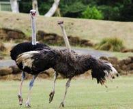 Struisvogel het Koppelen Dans Stock Foto's