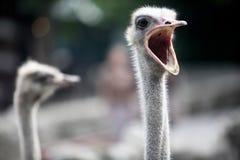 Struisvogel hoofd dichte omhooggaand Stock Fotografie
